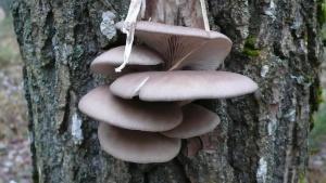 Что мы знаем о грибе Вешенка?