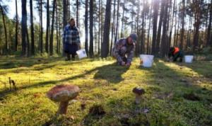 Налог на сбор ягод и грибов могут ввести в России